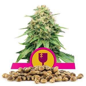 Critical Bulk Seeds