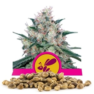 Honey Cream fast version Bulk Seeds