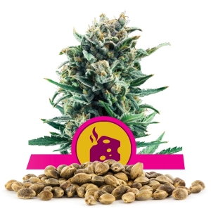 Blue Cheese Bulk Seeds