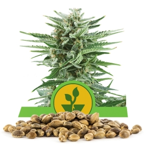 Easy Bud Bulk Seeds