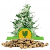 Royal Critical Automatic Bulk Seeds