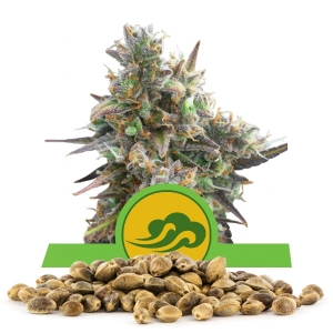 Royal Bluematic Bulk Seeds