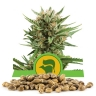 Sweet Skunk Automatic Bulk Seeds