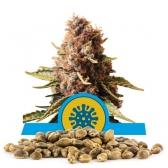 Euphoria Bulk Seeds