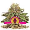 Green Gelato Bulk Seeds