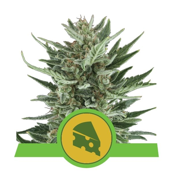 Royal Cheese Automatic Royal Queen Seeds