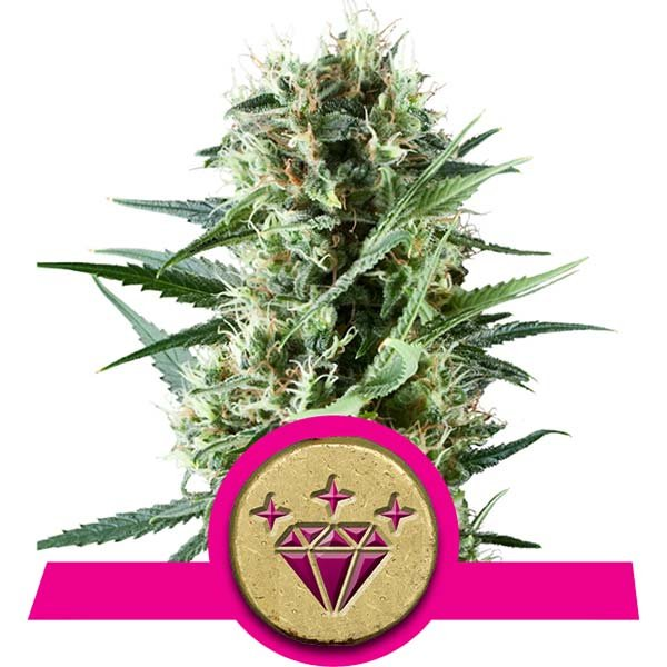 Special Kush 1 Royal Queen Seeds