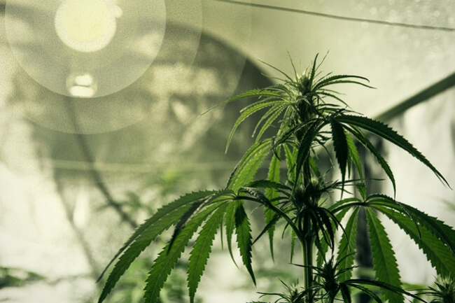 Best lighting for growing cannabis