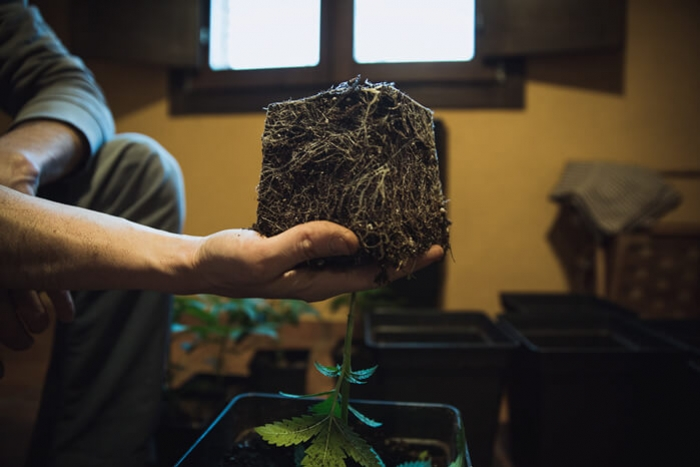 How and when to transplant your weed