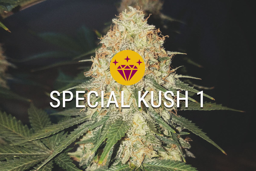 Special Kush - High Quality Marijuana seeds for a low price