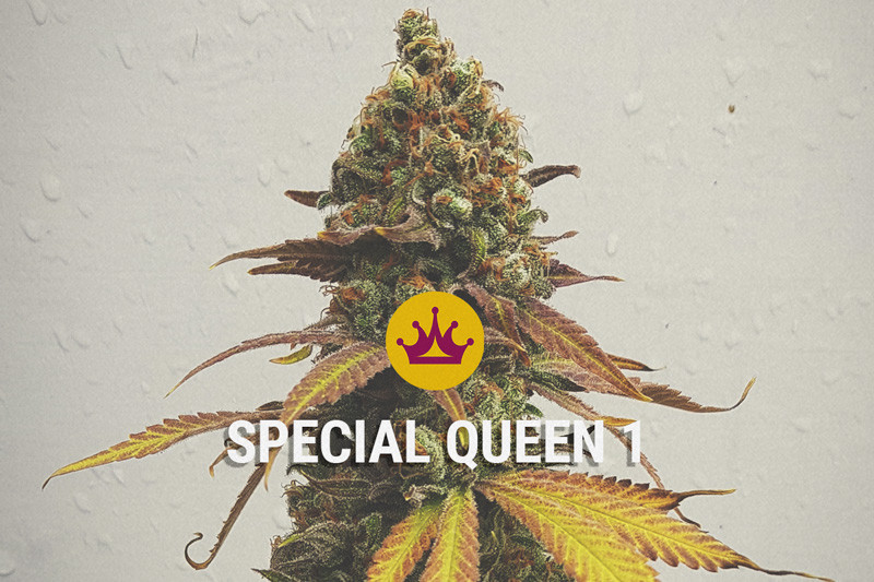 Special Queen - High quality seeds for a low price!