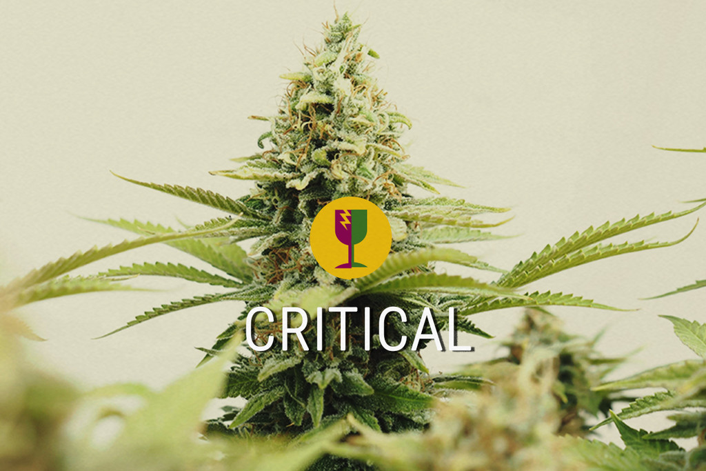 Critical The best cannabis strain for commercial growers.