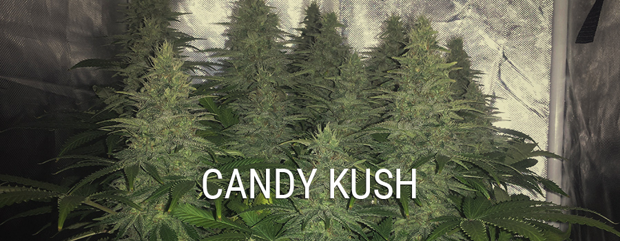 Candy Kush Additional info